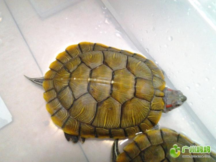 请问乌龟怎样分公母 谢谢图片